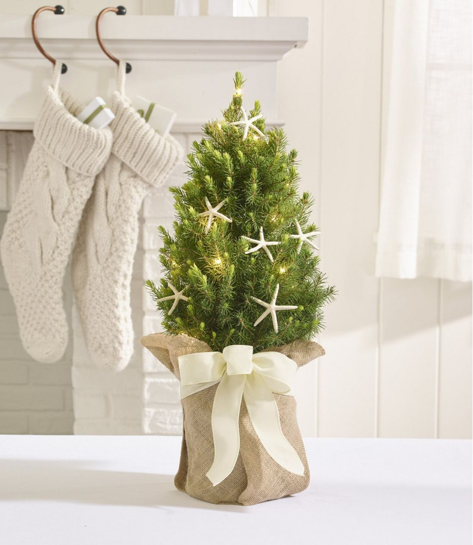 coastal evergreen tabletop live tree lighted